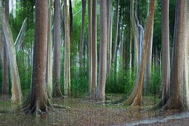 Rainforest impression, Havelock Island, India  -  Konrad Wothe