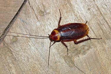 American Cockroach (Periplaneta americana), India  -  Konrad Wothe
