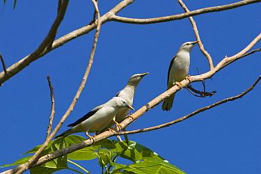White-headed Starling (Sturnus erythropygius) group, Havelock Island, India  -  Konrad Wothe