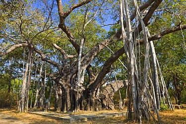 Indian Banyan Tree (Ficus benghalensis), India  -  Konrad Wothe