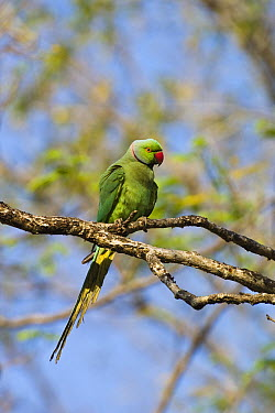 Rose-ringed Parakeet (Psittacula krameri) male, south India  -  Konrad Wothe