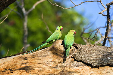 Rose-ringed Parakeet (Psittacula krameri) pair, south India  -  Konrad Wothe