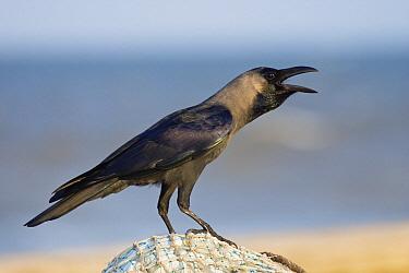 House Crow (Corvus splendens) at the beach on fishing net, Chennai, India  -  Konrad Wothe