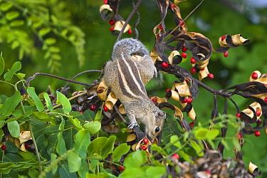 Five-striped Palm Squirrel (Funambulus pennanti) foraging, Chennai, India  -  Konrad Wothe