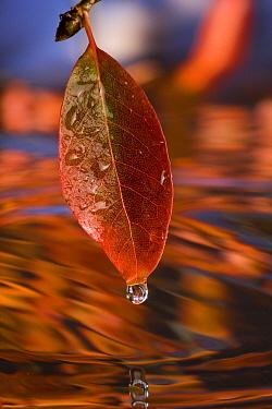 Black Tupelo (Nyssa sylvatica) leaf in autumn with water droplet, Oregon  -  Michael Durham