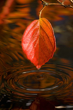 Autumn leaf over a pool of water, western Oregon  -  Michael Durham