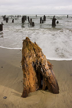 Coastal erosion uncovers 2000 year old tree stumps, called the Ghost Forest near Neskowin, Oregon  -  Michael Durham