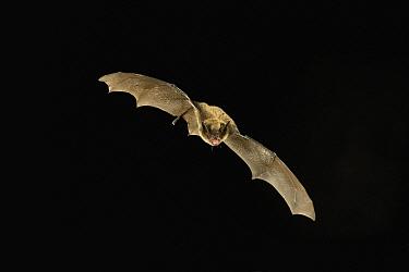 Little Brown Bat (Myotis lucifugus) flying at night, Dutch Henry Falls Preserve, central Washington  -  Michael Durham