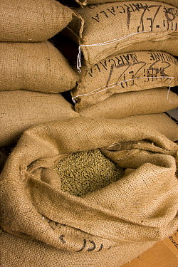 Coffee beans after arriving in the United States for roasting in boutique coffee shops, North America  -  Michael Durham