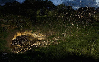 Brazilian Free-tailed Bat (Tadarida brasiliensis) group emerging from Bracken Cave at dusk, Texas (multiple images stitched together)  -  Michael Durham