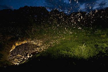 Brazilian Free-tailed Bat (Tadarida brasiliensis) group emerging from Bracken Cave at dusk, Texas  -  Michael Durham