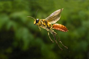 Sand Wasp (Sphex habenus) male flying, Texas  -  Michael Durham