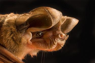 Big Free-tailed Bat (Nyctinomops macrotis) portrait, Texas  -  Michael Durham