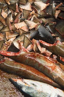Shortfin Mako (Isurus oxyrhynchus) and Smooth Hammerhead Shark (Sphyrna zygaena) in the area's largest fish market for artisanal fishermen, Santa Rosa Fishing Village, Santa Elena Peninsula, Ecuador  -  Pete Oxford