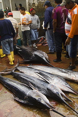 Marlin (Makaira mazara) and Striped Marlin (Tetrapturus audax) in the area's largest fish market for artisanal fishermen, Santa Rosa Fishing Village, Santa Elena Peninsula, Ecuador  -  Pete Oxford