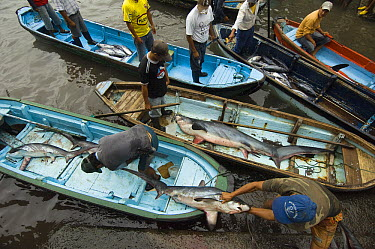 Bigeye Thresher Shark (Alopias superciliosus) probably caught in gill nets, offloaded from fishing boats, Santa Rosa Fishing Village, Santa Elena Peninsula, Ecuador  -  Pete Oxford