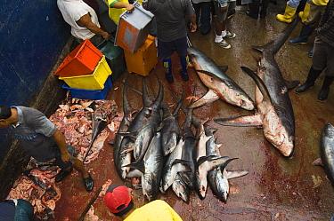 Bigeye Thresher Shark (Alopias superciliosus) and Pelagic Thresher Shark (Alopias pelagicus) probably caught in gill nets, Santa Rosa Fishing Village, Santa Elena Peninsula, Ecuador  -  Pete Oxford