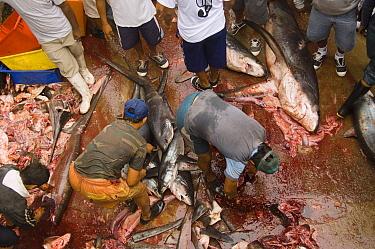 Bigeye Thresher Shark (Alopias superciliosus) and Pelagic Thresher Shark (Alopias pelagicus) probably caught in gill nets are cut up by fishermen, Santa Rosa Fishing Village, Santa Elena Peninsula, Ec...  -  Pete Oxford