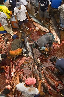 Pelagic Thresher Shark (Alopias pelagicus) probably caught in gill nets are cut up by fishermen, Santa Rosa Fishing Village, Santa Elena Peninsula, Ecuador  -  Pete Oxford