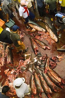Bigeye Thresher Shark (Alopias superciliosus) and Pelagic Thresher Shark (Alopias pelagicus) probably caught in gill net along with other species, Santa Rosa Fishing Village, Santa Elena Peninsula, Ec...  -  Pete Oxford