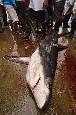Bigeye Thresher Shark (Alopias superciliosus) probably caught in gill net along with other species, Santa Rosa Fishing Village, Santa Elena Peninsula, Ecuador  -  Pete Oxford