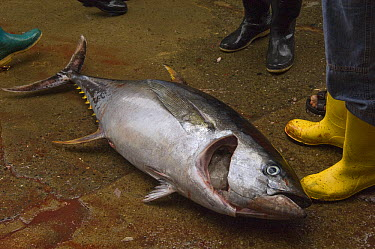 Yellowfin Tuna (Thunnus albacares) in the area's largest fish market for artisanal fishermen, Santa Rosa Fishing Village, Santa Elena Peninsula, Ecuador  -  Pete Oxford