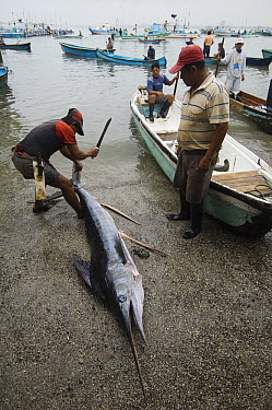 Striped Marlin (Tetrapturus audax) in the area's largest fish market for artisanal fishermen being cut up, Santa Rosa Fishing Village, Santa Elena Peninsula, Ecuador  -  Pete Oxford