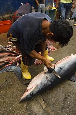 Shortfin Mako (Isurus oxyrhynchus) in the area's largest fish market for artisanal fishermen being cut up, Santa Rosa Fishing Village, Santa Elena Peninsula, Ecuador  -  Pete Oxford