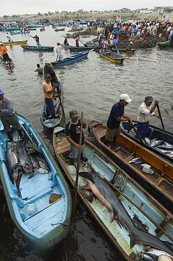 Bigeye Thresher Shark (Alopias superciliosus) and Pelagic Thresher Shark (Alopias pelagicus) probably caught in gill nets in fishing boats, Santa Rosa Fishing Village, Santa Elena Peninsula, Ecuador  -  Pete Oxford
