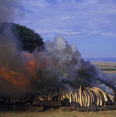 Ten tons of confiscated ivory being burned, Nairobi National Park, Kenya  -  Frants Hartmann/ FLPA