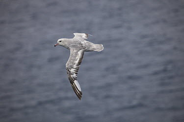 Southern Fulmar (Fulmarus glacialoides) flying, east Antarctica  -  Colin Monteath/ Hedgehog House
