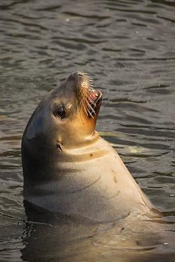 Hooker's Sea Lion (Phocarctos hookeri) female, New Zealand  -  Colin Monteath/ Hedgehog House