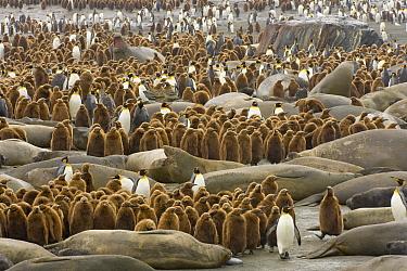 King Penguin (Aptenodytes patagonicus) colony among Southern Elephant Seals (Mirounga leonina) on beach, St. Andrews Bay, South Georgia Island  -  Yva Momatiuk & John Eastcott