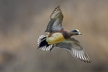 American Wigeon (Anas americana) drake flying, Montana  -  Donald M. Jones