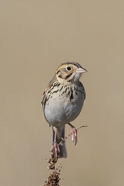 Baird's Sparrow (Ammodramus bairdii), eastern Montana  -  Donald M. Jones