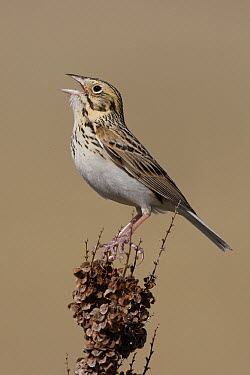 Baird's Sparrow (Ammodramus bairdii) singing, eastern Montana  -  Donald M. Jones
