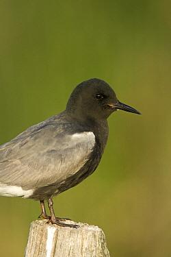 Black Tern (Chlidonias niger) on fence post, eastern Montana  -  Donald M. Jones