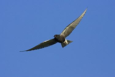 Black Tern (Chlidonias niger) flying, eastern Montana  -  Donald M. Jones