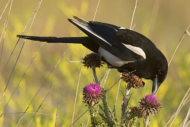 Black-billed Magpie (Pica pica) feeding on blooming thistle, western Montana  -  Donald M. Jones