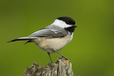 Black-capped Chichadee (Poecile atricapillus) in spring, western Montana  -  Donald M. Jones