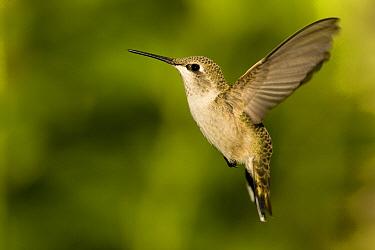 Black-chinned Hummingbird (Archilochus alexandri) female flying, western Montana  -  Donald M. Jones