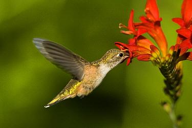 Black-chinned Hummingbird (Archilochus alexandri) female feeding on flower, western Montana  -  Donald M. Jones