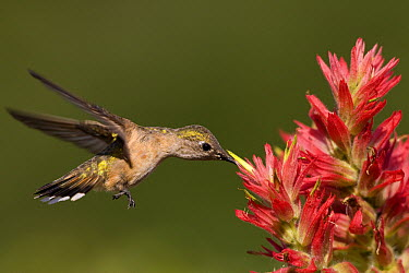 Black-chinned Hummingbird (Archilochus alexandri) female feeding on Indian Paintbrush (Castilleja attenuata), western Montana  -  Donald M. Jones