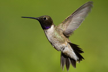 Black-chinned Hummingbird (Archilochus alexandri) male flying, western Montana  -  Donald M. Jones