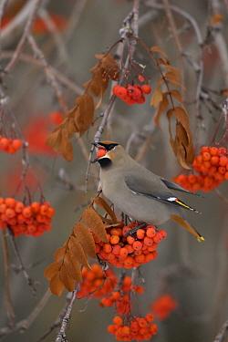 Bohemian Waxwing (Bombycilla garrulus) feeding on American Mountain Ash (Sorbus americana) berries, western Montana  -  Donald M. Jones