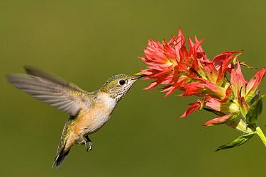 Calliope Hummingbird (Stellula calliope) female feeding on Indian Paintbrush (Castilleja attenuata), western Montana  -  Donald M. Jones
