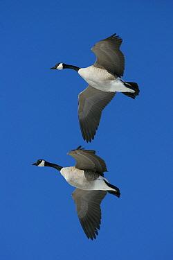 Canada Goose (Branta canadensis) pair flying, central Montana  -  Donald M. Jones