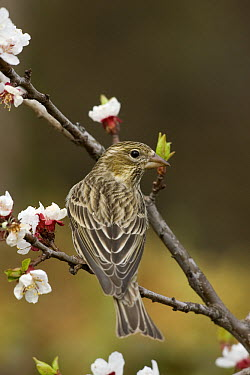 Cassin's Finch (Carpodacus cassinii) female perching on blossom covered branch, western Montana  -  Donald M. Jones