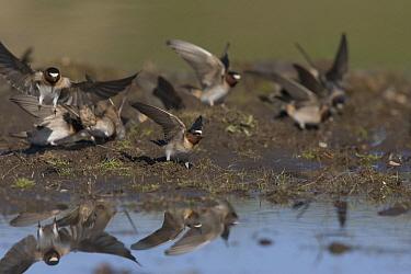 American Cliff Swallow (Petrochelidon pyrrhonota) gathering mud for nests, southwestern Montana  -  Donald M. Jones