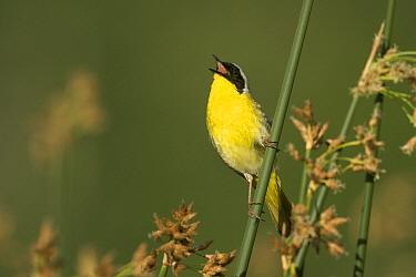 Common Yellowthroat (Geothlypis trichas) male singing on reeds, western Montana  -  Donald M. Jones